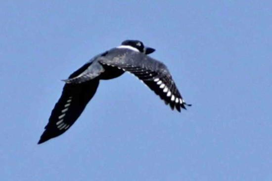 Martín pescador grande/Ringed Kingfisher