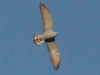 Milano plomizo/Plumbeous Kite