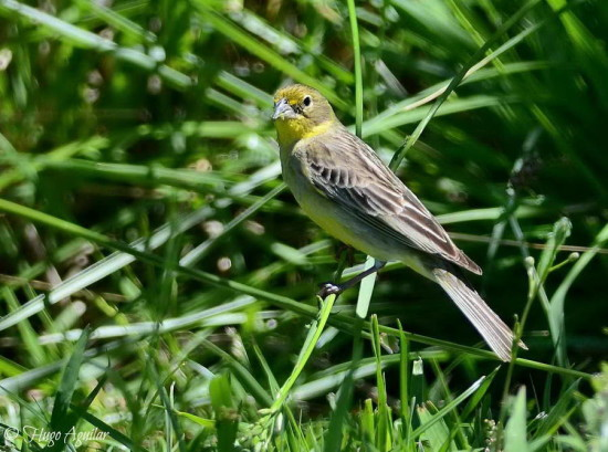 Misto/Grassland Yellow-Finch