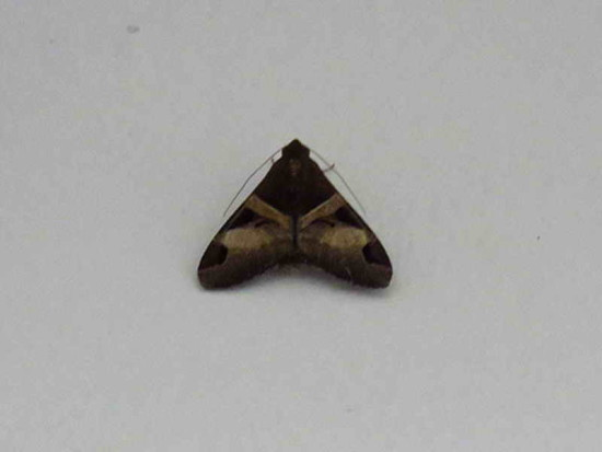Polilla fasciolada/Fasciolated Melipotis Moth