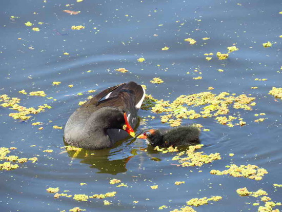 na negra/Common Gallinule