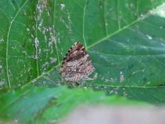 Scodylia quadruplicaria