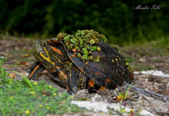 Tortuga pintada/Painted Turtle