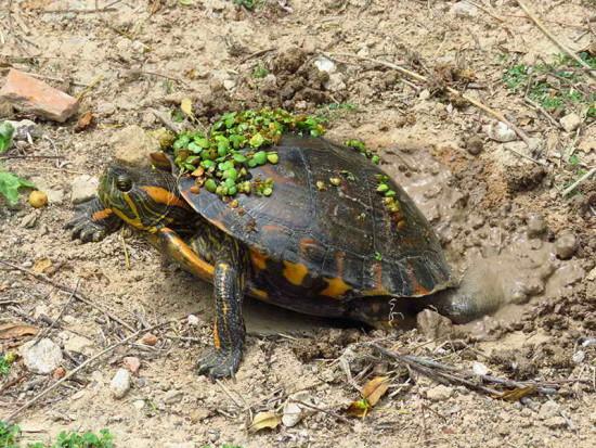 Tortuga pintada/Painted Turtle