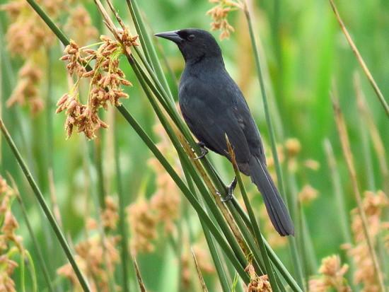 Varillero negro Unicoloured Blackbird