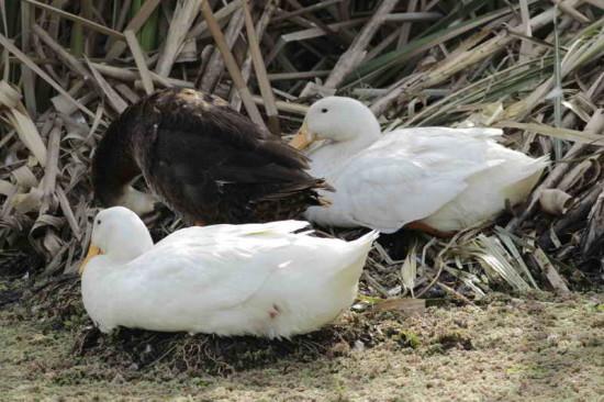 Ánade real-Pato Pekin/Mallard Duck-Pekin duck