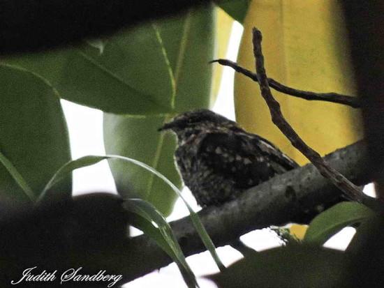 Atajacminos tijera/Scissor-tailed Nightjar