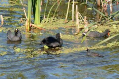 Gallareta ligas rojas-Pollona negra/Red-garted Coot-Common Gallinule