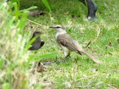 Calandria-renegrido/Mockingbird-Cowbird