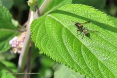 Camuatí/Camutai wasp