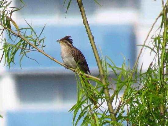Crespín/Striped Cuckoo