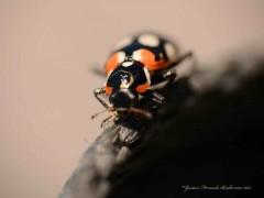 Vaquita/Ladybug beetle