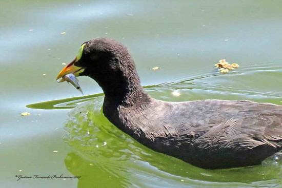Gallareta ligas rojas/Red-fronted Coot