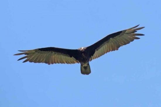 Jote cabeza colorada/Turkey Vulture