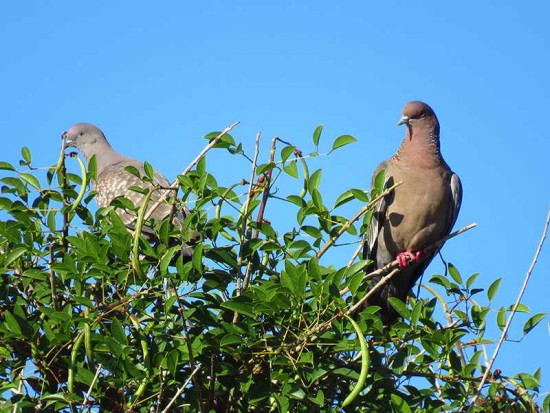Palomas/Pigeons