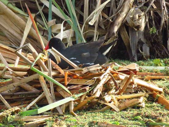 Pollona negra/Common Gallinule