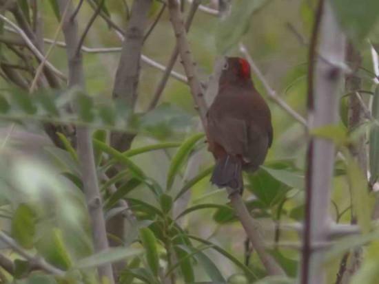 Brasita de fuego/Red-crested Finch