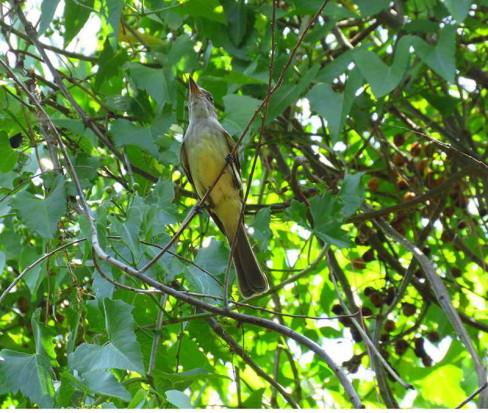 Burlisto pico canela/Swainson's Flycatcher