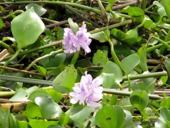 camalotales/floating hyacinth