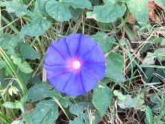 Campanilla azul/Ocean blue morning glory