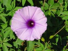 Campanilla lila/Morning glory