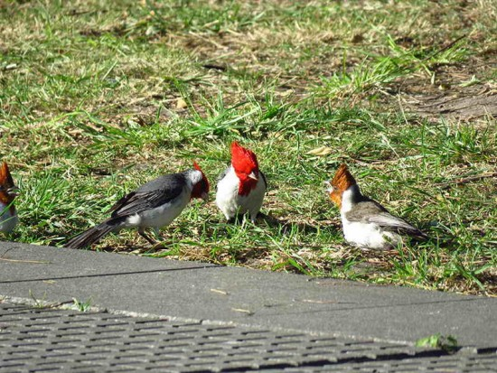 Cardenal/Red-crested Cardinal