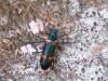 Cascarudo azul y naranja/Darkling beetle