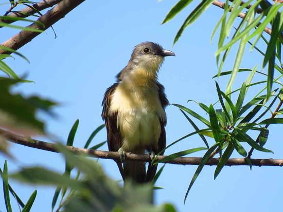 Cuclillo canela/Dark-billed Cuckoo