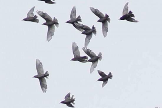 Estorninos-gavilán mixto/European Starling-Harris's Hawk