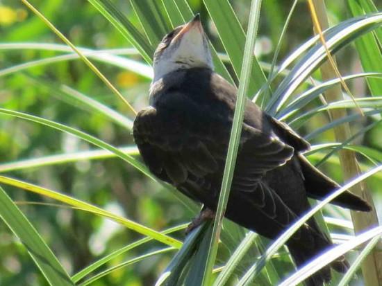 Golondrina parda/Brown-chested Martin