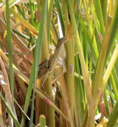 Mirasol común/Stripe-backed Bittern