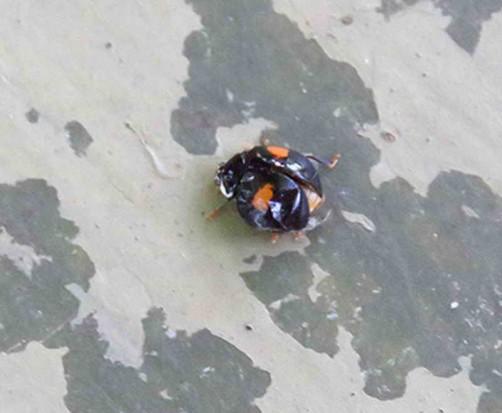 Vaquita/Lady beetle