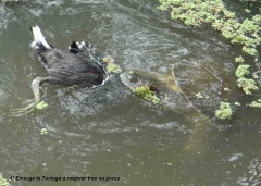 Pollona y tortuga/Gallinule and turtle
