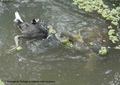 Pollona y tortuga/Gallinule and turtle