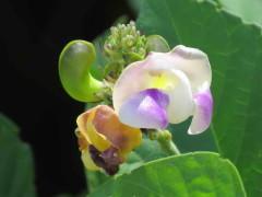 Poroto de río/Wild pea