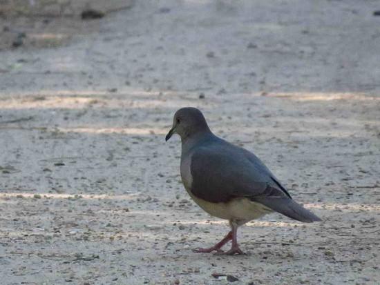 Yerutí común/Spot-winged Pigeon