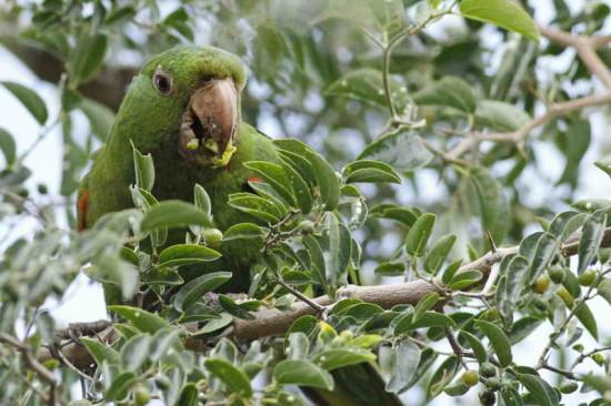 Calancate - Tala/White-eyed Parakeet Tala