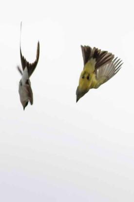 Cayendo en picada/Swooping birds