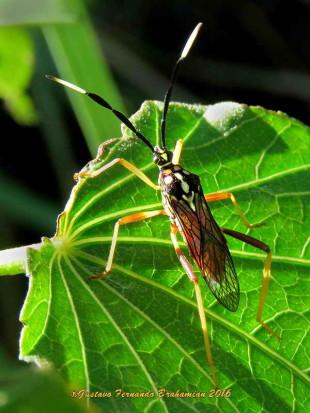 Chinche del mburucuyá/Leaf-footed bug