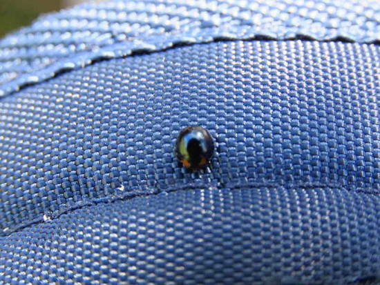Mariquita/Metallic blue Lady Beetle