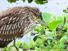Garza bruja/Black-crowned Night-Heron
