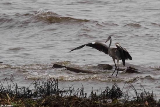 Garza mora/Cocoi Heron