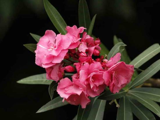 Laurel de jardín/Nerium