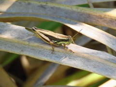 Tucura de los alfalfares/Short-horned grasshopper