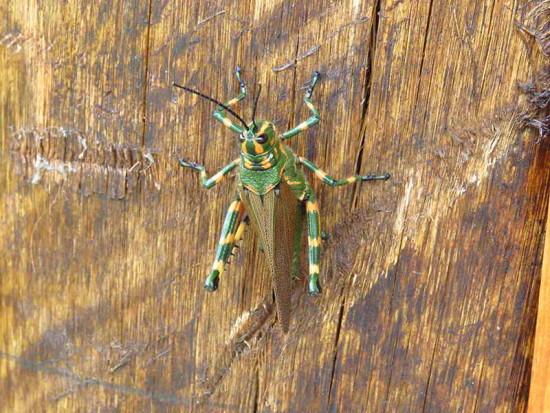 Tucura rayada/Lubber grasshopper