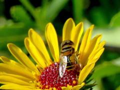 Mosca de las flores/Hoverfly