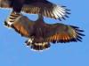 Aguilucho colorado/Savanna Hawk