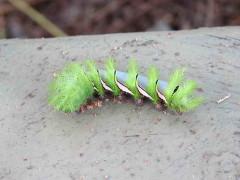 Oruga de Pavo Real/Automeris naranja caterpillar