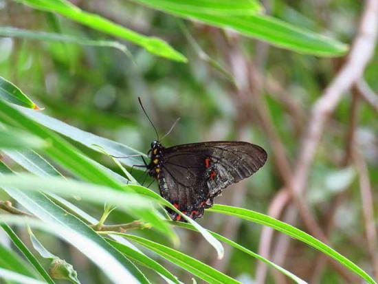 Borde jade/Polystictus Swallowtail