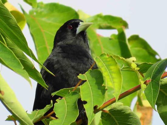 Boyero negro/Slotary Black Cacique